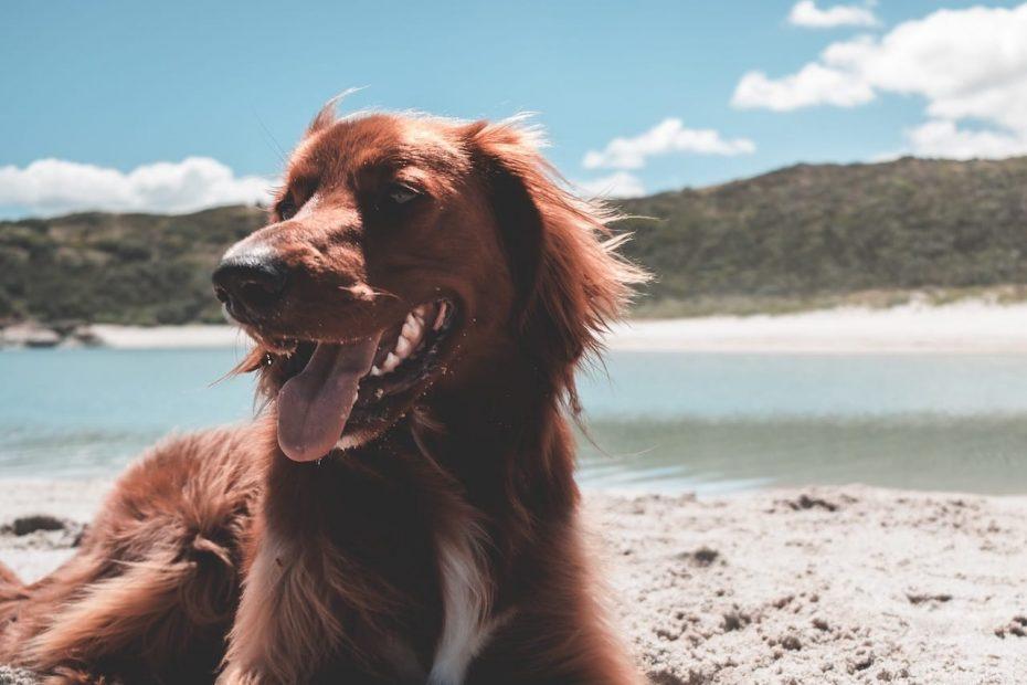 irländisk setter på en strand