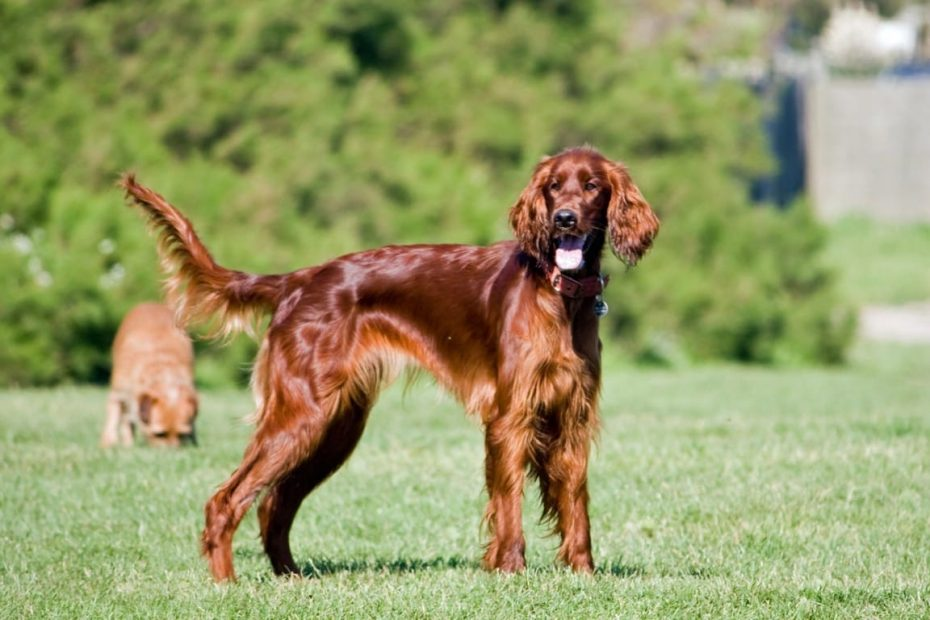 Röd irländsk setter hund